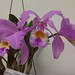 Cattleya gaskelliana – Gil Ho