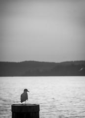 Traurige Mwe (claudiarndt) Tags: bw bird water sad seagull sw mwe washer vogel traurig