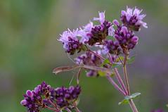Ööliblikas (Jaan Keinaste) Tags: fauna estonia pentax moth pune eesti k7 origanumvulgare ööliblikas pentaxk7 ravimtaim harilikpune