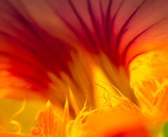 Hell's Mouth (Raggedjack1) Tags: orange mouth nasturtium