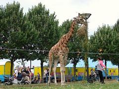 Griftpark Giraffe (indigo_jones) Tags: holland netherlands animal neck utrecht eating circus nederland exotic giraffe unusual unexpected griftpark
