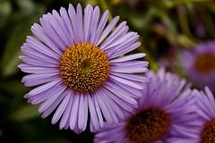 Erigeron - Wayne Roderick 'Fleabane' (Paul Sibley) Tags: flower photoaday nikond60 2013inphotos