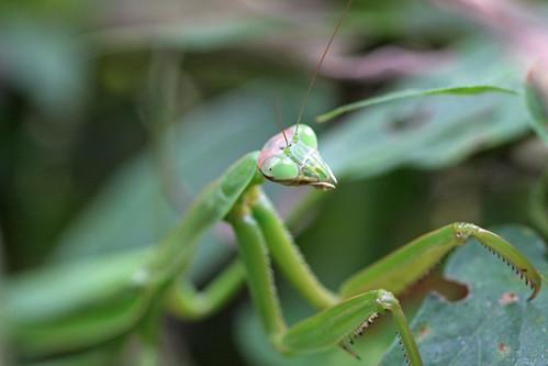 新治市民の森のオオカマキリ(Mantis, Niiharu Community Woods, Yokohama, Japan)