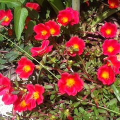 สาวเชียงใหม่ #fleur #flora #flowers #blossom #Common_Purslane #nuture #khunpentorr #florist #thailand