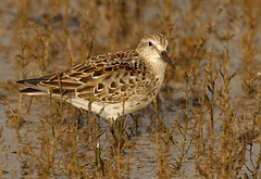 """White-rumped Sandpiper, Hayle Estuary, 101113 (S.Rogers) • <a style=""""font-size:0.8em;"""" href=""""http://www.flickr.com/photos/30837261@N07/10838829606/"""" target=""""_blank"""">View on Flickr</a>"""