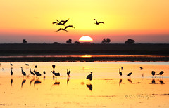 Sunrise 1 - Cranes Leaving (sailingsue) Tags: sunrise cranes sandhill