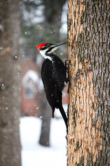 Pileated Woodpecker (skhaan) Tags: life winter snow tree bird beautiful birds animal canon woodpecker action pileated 55250