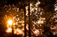 momiji_2013_15 (jam343) Tags: autumn winter sunset sun tree fall leaves silhouette japan leaf maple branch foliage momiji  90mm