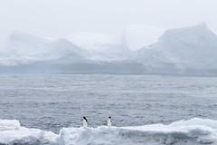 Antarctica - Day Two0231 (GLRPhotography) Tags: penguin antarctica adelie 100400 gourdin