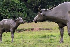 Sapi berlumpur (I.M.W.) Tags: canon indonesia buffalo cows dslr sulawesi muddy waterbuffalo canon550d matanofault kampungmatano