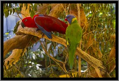 Eclectus Parrot - Rainbow Lorrikeet NQld-1= (Sheba_Also Millon + Views) Tags: rainbow parrot eclectus lorrikeet nqld
