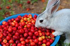 Bunny (Flávio Correa) Tags: camera red rabbit frutas fruit canon rebel vermelho acerola coelho esos coelhinho 650d t4i coelhinha