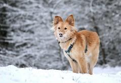 Mischling Jack (blumenbiene) Tags: schnee dog snow male dogs fun long hund braun hunde hear mischling rüde spas langhaar