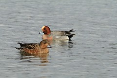 Wigeon. (Karen Antcliffe) Tags: red bird water duck head beak feathers floating wigeon vision:text=059 vision:beach=0638 vision:sky=0522 vision:outdoor=0905 vision:ocean=0577
