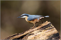 Nuthatch - down in the woods today. ( Explored ) (Smudge 9000) Tags: uk winter birds nuthatch sittaeuropaea 2014 sittelle torchepot bossenden