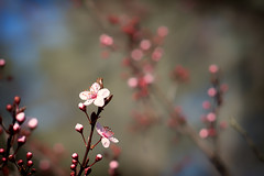 Mock Cherry (Brent Betz) Tags: pink flowers trees red summer sky sunlight leaves gardens georgia petals spring afternoon bokeh blossoms athens buds blooms mockcherry vision:plant=0884