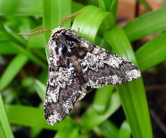 Oak Beauty. Biston Strataria (gailhampshire) Tags: oakbeautybistonstrataria taxonomy:binomial=bistonstrataria explored