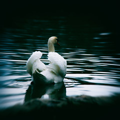 proud I/II (floriax75) Tags: park white lake motion color colour bird water animal proud swimming see swan wasser schwimmen coat wing feather pride bewegung farbe schwan welle tier vogel flügel stolz cygnus weis feathering gefieder