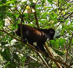 Mono aullador Parque Volcan Arenal La Fortuna Costa Rica 06 (Rafael Gomez - http://micamara.es) Tags: parque volcán arenal animales fauna la fortuna costa rica howler monkey mono aullador volcan animal arbol arboles