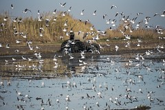 Rice fields in winter I (alcahazada) Tags: camposdearroz ricefields rural agricola cultivos aves tractor paisaje crops landscape agrarian birds pájaros farmequipment farm gününeniyisi thebestofday