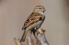 DSC_1537 (sylvette.T) Tags: bird oiseau moineau sparrow 2017 extérieur nature nikon passerdomesticus coth5