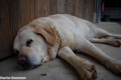 Boule qui dort (Charles Damamme) Tags: chien filtre normandie chasse nature paysage animaux labrador nikon