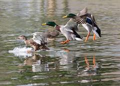 mallard trio landing (William Miller 21) Tags: mallard ducks birds nature wildlife florida ocala tuscawilla pond park flight canon 7d 300f4