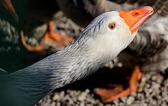 Azzurri (lincerosso) Tags: occhi eyes azzurro ocadomestica anserdomesticus uccelli colore bellezza armonia