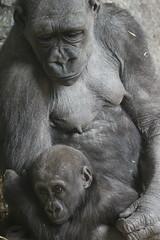 IMG_2401 (mrwalli) Tags: gorilla baby mother hugging calgaryzoo caring touching loving friendlychallenges
