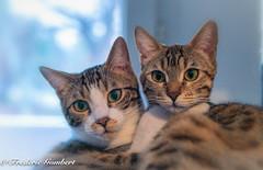 Cute (frederic.gombert) Tags: pet pets animal cute feline cat cats home