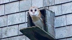barn owl (2014 re-edit) (quadceratops) Tags: massachusetts marthas vineyard nature felix neck mass audubon sanctuary barn owl tyto alba birdersnetworkingevent inexplore perchportfolio hawkseasonspring19 pefafund2019