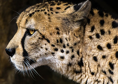 Acinonyx jubatus (danielledufour430) Tags: animal mammal cat bigcat nature wildlife cheetah carnivore predator profile portrait sonya6000