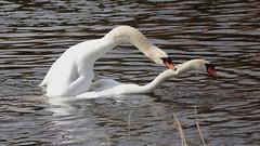 New life... (carlo612001) Tags: swan swans couple life animals birds white water breeding wildlife
