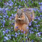Squirrels in Ann Arbor at the University of Michigan (April 3rd, 2017) thumbnail