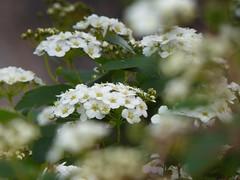 nuvolette bianche (fotomie2009) Tags: spirea spiraea arguta white flower fiore fleur flor flora tribute siria children