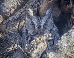 Master of hiding in plain sight (sfdonald) Tags: screech owl grey easternscreechowl petitducmacule camouflage snooze sleeping