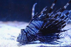 Lionfish (Sabina.Ioana) Tags: lionfish canon100d fish acvarium
