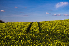 Over The Hills And Far Away (Brian Travelling) Tags: rapeseed yellow flower crop bluesky blue pentaxkr pentax pentaxdal peaceful peace landscape sky england uk gb