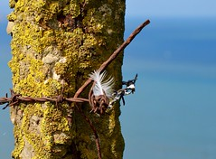 An old post, a feather and some barbed wire. (rustyruth1959) Tags: nikon nikond3200 tamron16300mm uk yorkshire bempton bemptoncliffs flamboroughheritagecoast outdoor cliffs fence fencepost wire feather barbedwire rusty rust lichen sky blue coast rspb sea water concrete