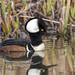 ND5_7015 Male Hooded Merganser (Wayne Duke 76) Tags: waterfowl duck merganser marsh divingbird