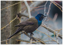 Blue-neck-bird (fadelemad324) Tags: animals bird beauty branches branch beautiful blue colors d7000 dslr digital nikon nature nik nikond7000 ottawa ontario canada