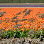Swaying reeds with tulip fields behind thumbnail