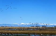 Gathering (Patricia Henschen) Tags: sanluisvalley goose geese cackling canada sandhillcrane sandhillcranes cranes migration winter snow colorado montevistanationalwildliferefuge montevista