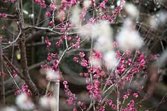 Plum (Ichigo Miyama) Tags: 偕楽園のウメ kairakuen plum ウメ 梅 偕楽園 水戸 mito prunusmume バラ科 rosaceae サクラ属 prunus 春 spring flower plant
