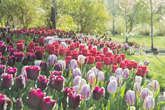 Tulips Gilded With Morning Light (aaronrhawkins) Tags: tulp tulipfestival thanksgivingpoint utah flowers sunlight droplets outline morning spring lehi garden petal tree foral grow sunrise aaronhawkins red pink white purple green