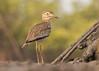 Senegal Thick-Knee - Burhinus senegalensis (Gary Faulkner's wildlife photography) Tags: senegalthickknee burhinussenegalensis