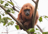 Guyanan Red Howler Monkey