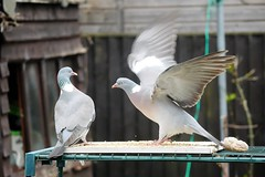 21 April 2017 (14) (AJ Yakstrangler) Tags: yakstrangler pigeon pigeons