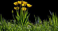 Yellow tulips (JoCo Knoop) Tags: utrecht universiteitsmuseum