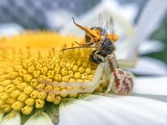 And So It Begins (tisatruett) Tags: spider arachnid wildflower daisy bee insect wildlife nature upclose